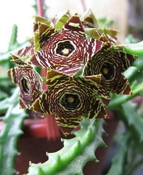 Caralluma Fimbriata Plant