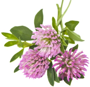 Photo of Red Clover Flower