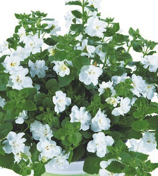Bacopa Monnieri Plant